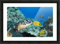 USA, Green Sea Turtle (Chelonia Mydas) Endangered Species And Butterfly Fish; Hawaii Islands Picture Frame print