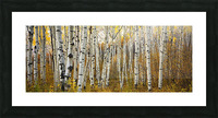 Colorado, Steamboat, Aspen Tree Trunks In Grove, Yellow Autumn Leaves. Picture Frame print
