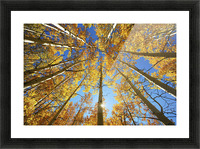 Colorado, Near Steamboat Springs, Buffalo Pass, Yellow Aspen Tree Canopy. Picture Frame print