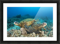 Hawaii, Green Sea Turtles (Chelonia Mydas) Over Coral Reef. Picture Frame print