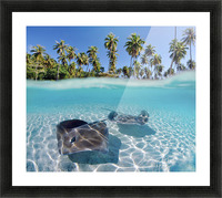 French Polynesia, Tahiti, Moorea, Two Stingray In Beautiful Turquoise Water. Picture Frame print