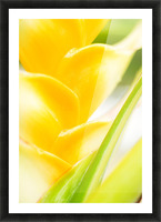 Hawaii, Oahu, Close-Up Of Heliconia Plant. Picture Frame print
