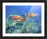 Hawaii, Two Green Sea Turtles, (Chelonia Mydas) An Endangered Species. Picture Frame print