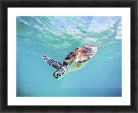 Hawaii, Green Sea Turtle (Chelonia Mydas) An Endangered Species. Picture Frame print