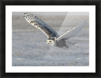 Snowy Owl in flight 6 Picture Frame print