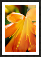 Extreme Close-Up Of Bright Orange Day Lily. Picture Frame print
