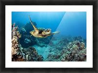 USA, Green Sea Turtle (Chelonia Mydas); Hawaii Picture Frame print