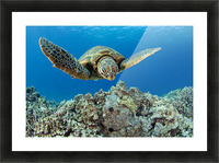 USA, Green Sea Turtle (Chelonia Mydas); Hawaii Picture Frame print