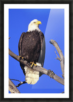 Alaska, Haines Bald Eagle Reserve, Bald Eagle (Haliaeetus Leucocephalus) Perched On A Branch. Picture Frame print