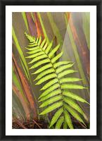 Hawaii, Maui, Hana, Fern And Rainbow Eucalyptus Tree. Picture Frame print