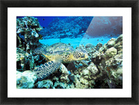 Hawaii, Green Sea Turtle (Chelonia Mydas) On Reef With Tropical Fish Picture Frame print
