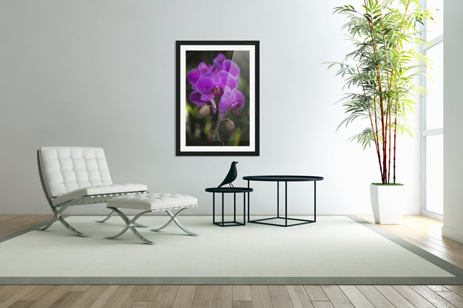 Phalaenopsis orchids in bloom; Kailua, Island of Hawaii, Hawaii, United States of America in Custom Picture Frame
