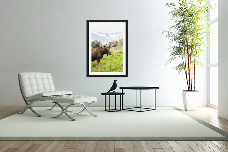 Bull moose (alces alces) with antlers in velvet, captive in Alaska Wildlife Conservation Center, South-central Alaska; Portage, Alaska, United States of America in Custom Picture Frame
