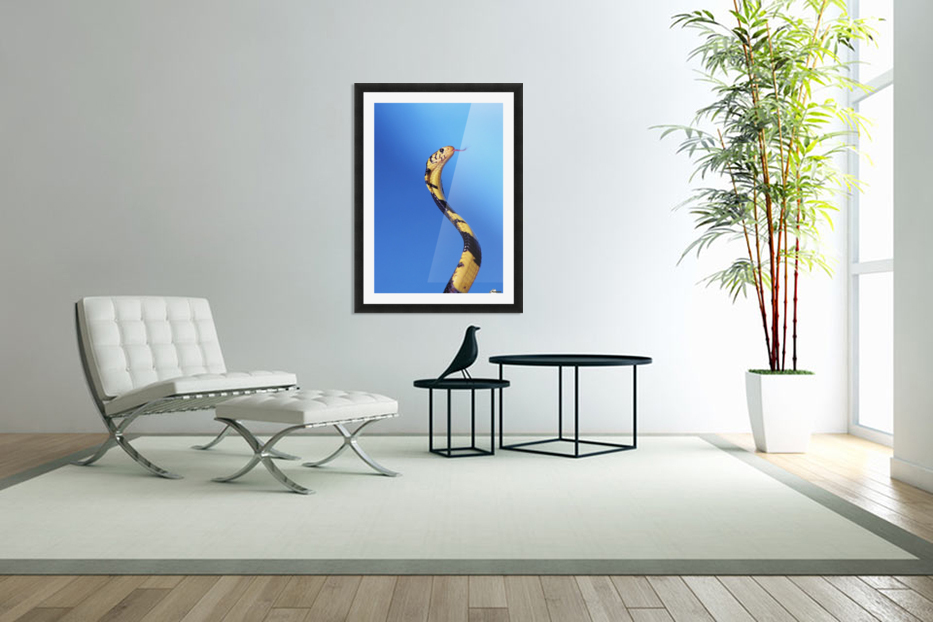 Forest cobra (naja melanoleuca) against a blue background;British columbia canada in Custom Picture Frame