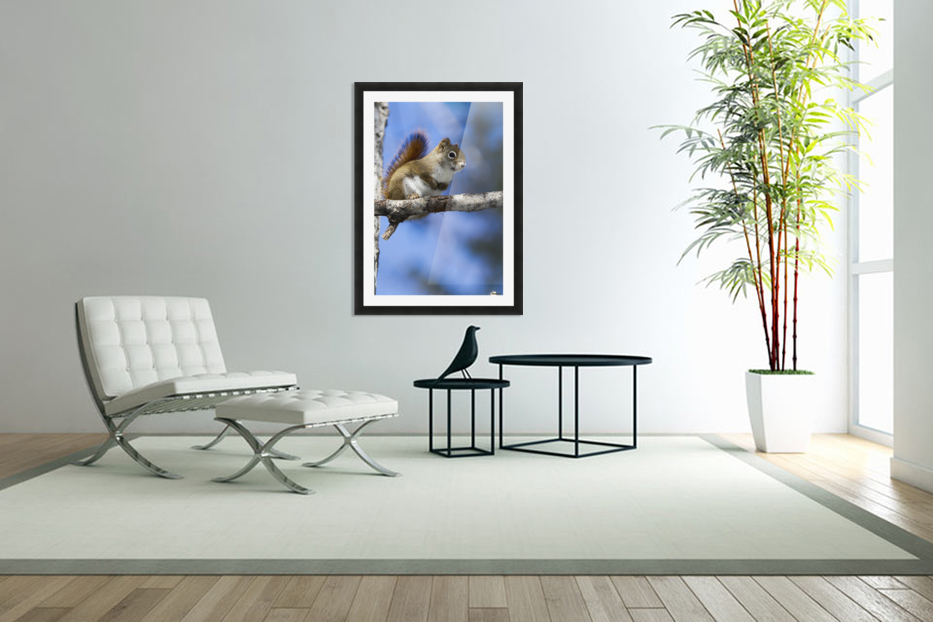 Eastern grey squirrel (Sciurus carolinensis) perched on a branch; Quebec, Canada in Custom Picture Frame