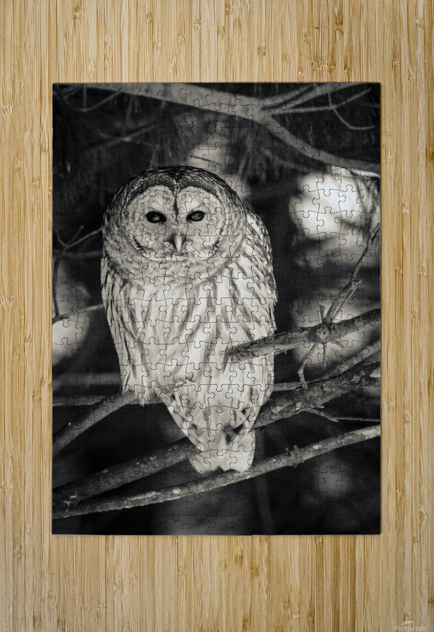 Spotted Owl - 2  HD Metal print with Floating Frame on Back