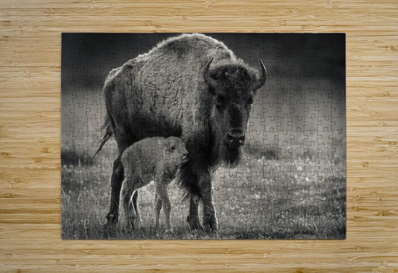 Bison love  HD Metal print with Floating Frame on Back