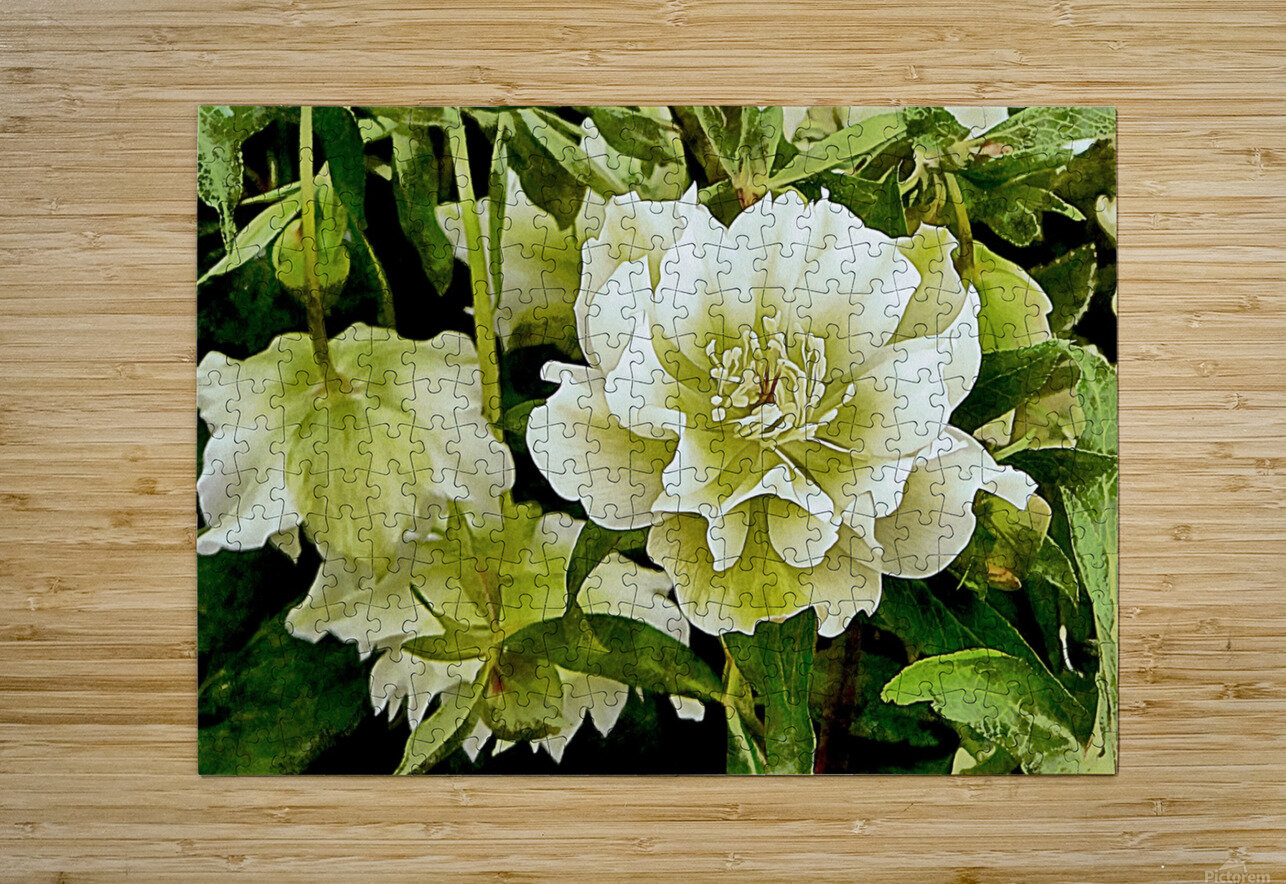 Beauty In A Lenten Rose  HD Metal print with Floating Frame on Back