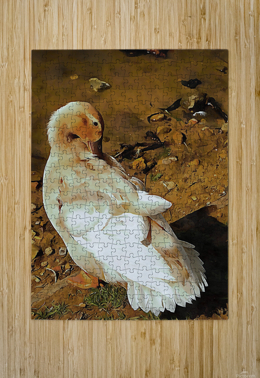 Buff Orpington Duck Preening  HD Metal print with Floating Frame on Back