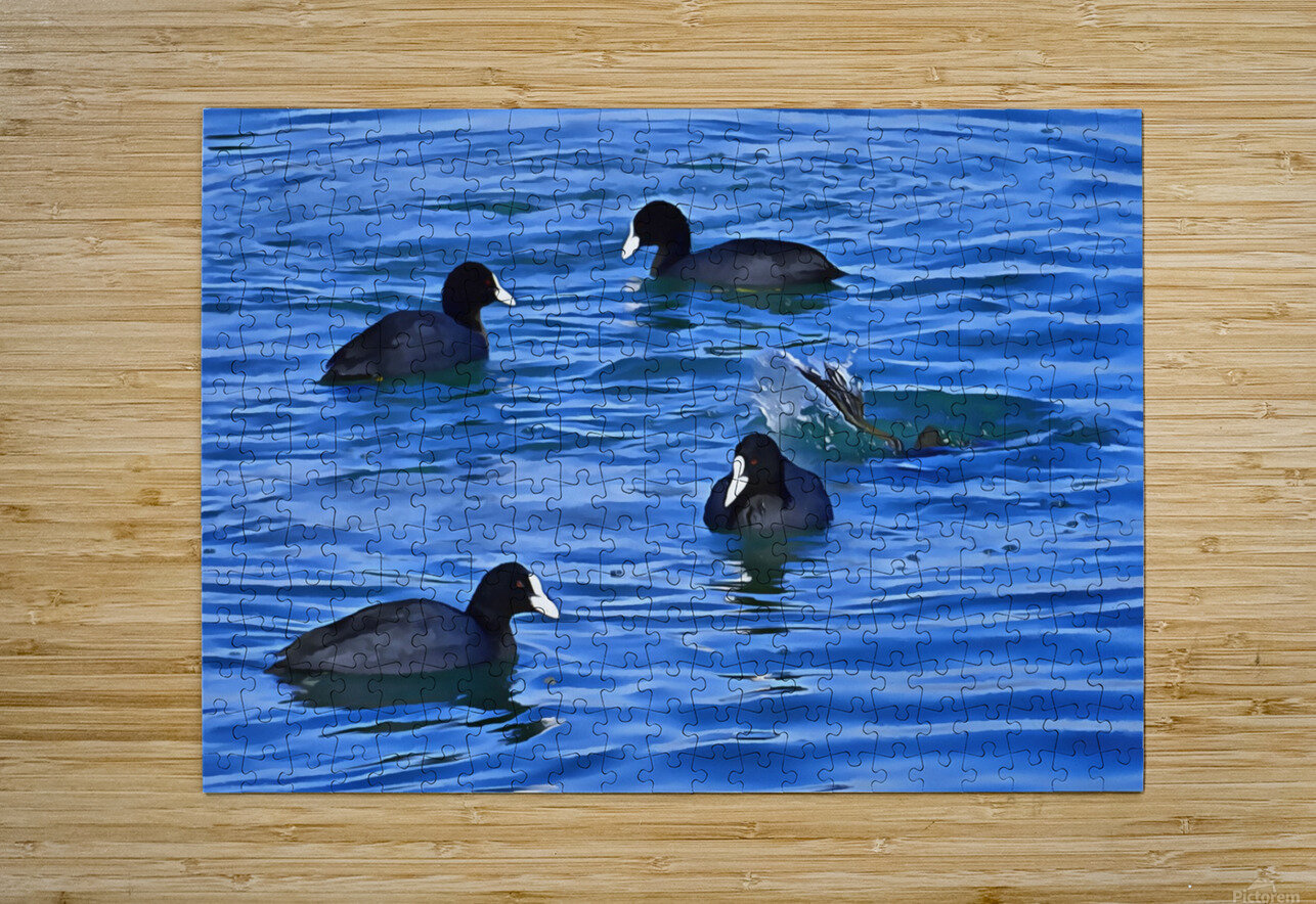 Coots Feeding  HD Metal print with Floating Frame on Back