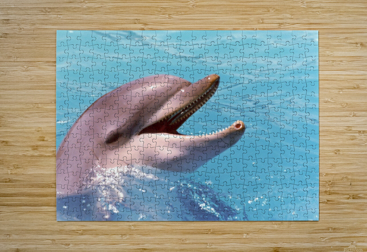 Happy Dolphin Photograph  HD Metal print with Floating Frame on Back