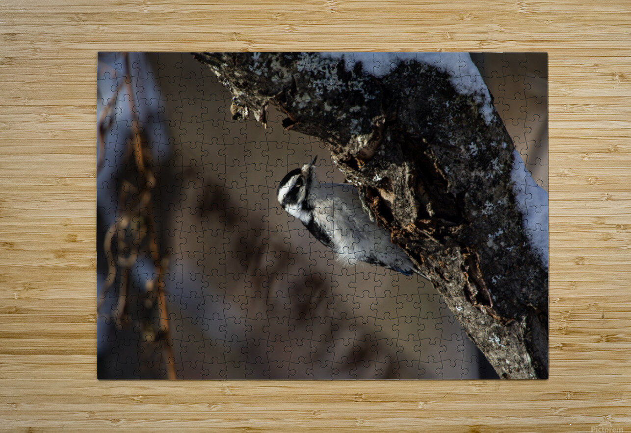Downy on a Branch  HD Metal print with Floating Frame on Back