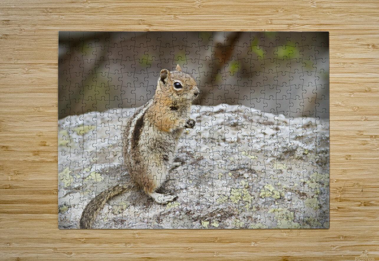 Chipmunk 2  HD Metal print with Floating Frame on Back