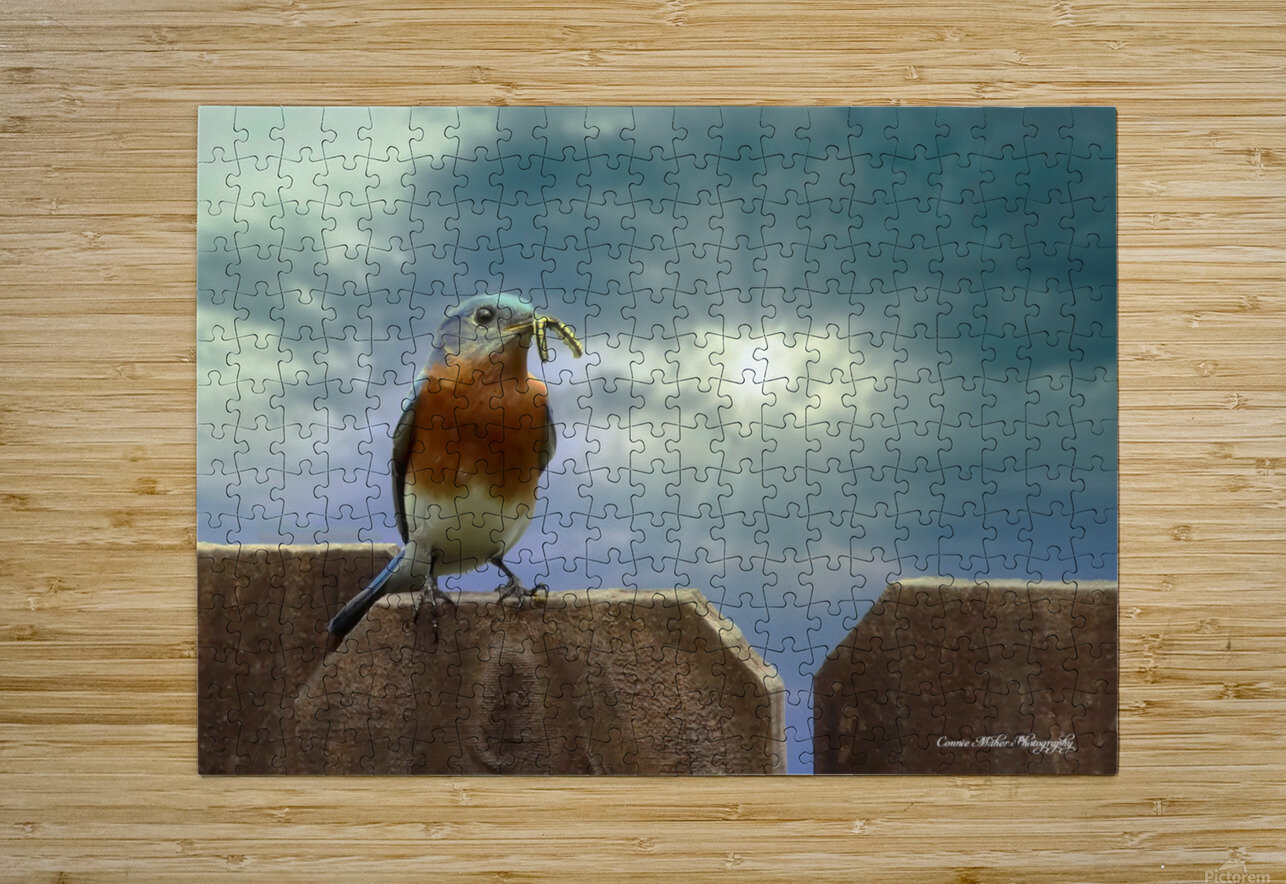 Bluebird in Sun  HD Metal print with Floating Frame on Back
