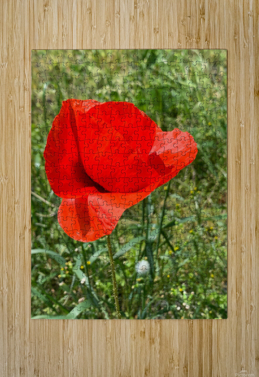 Poppy  HD Metal print with Floating Frame on Back