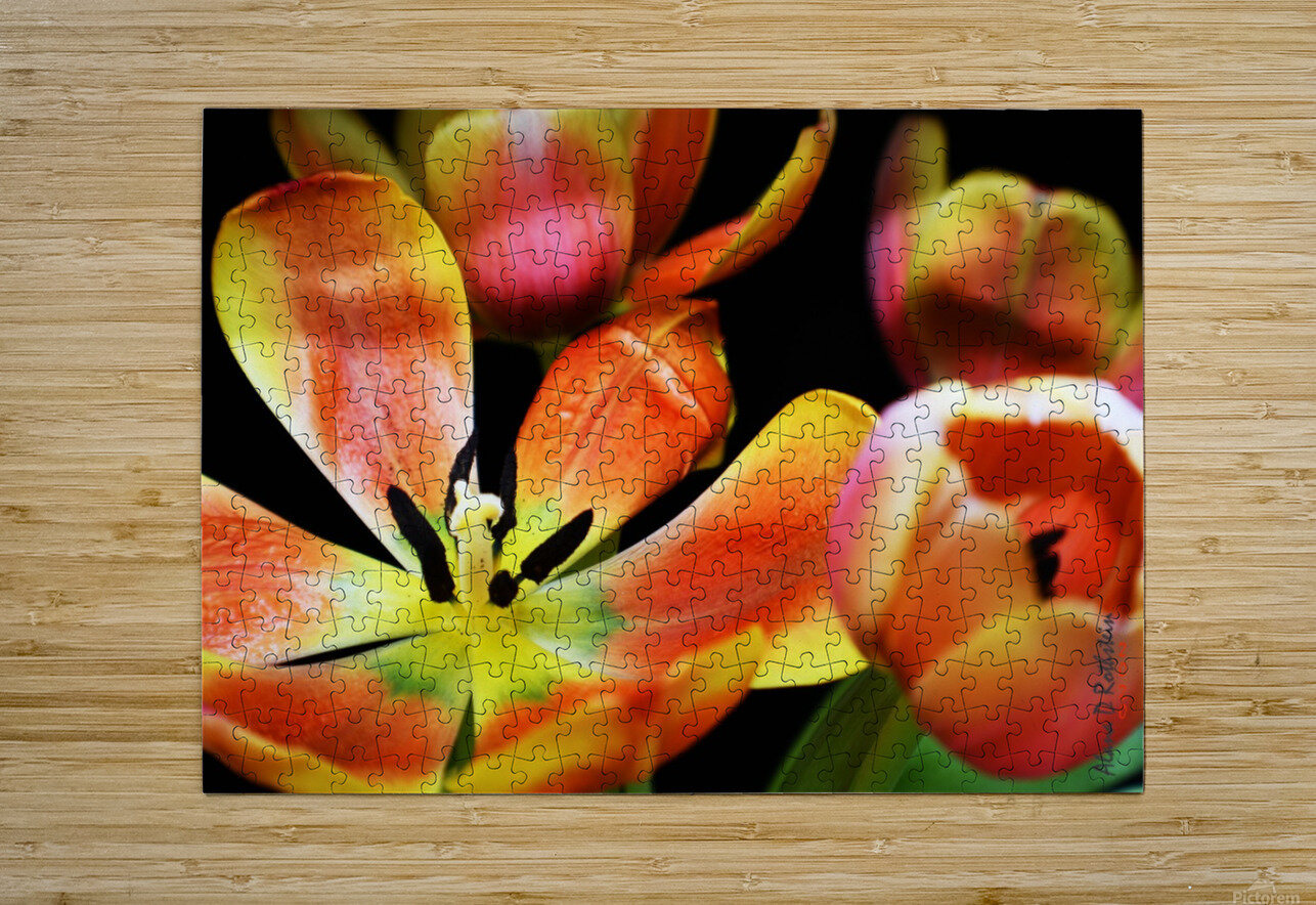 Tulip 1  HD Metal print with Floating Frame on Back