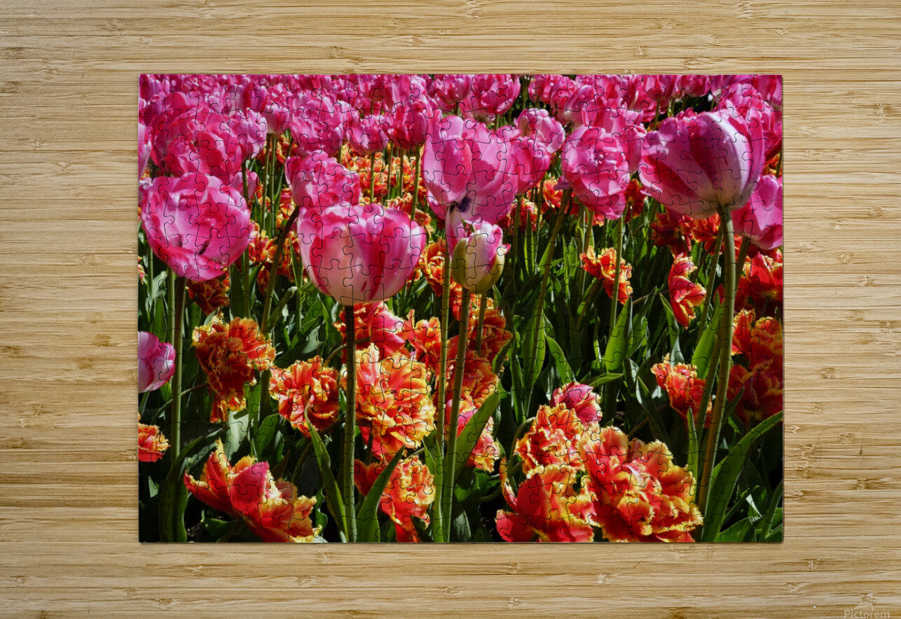 Tulips of the Netherlands 3 of 7  HD Metal print with Floating Frame on Back