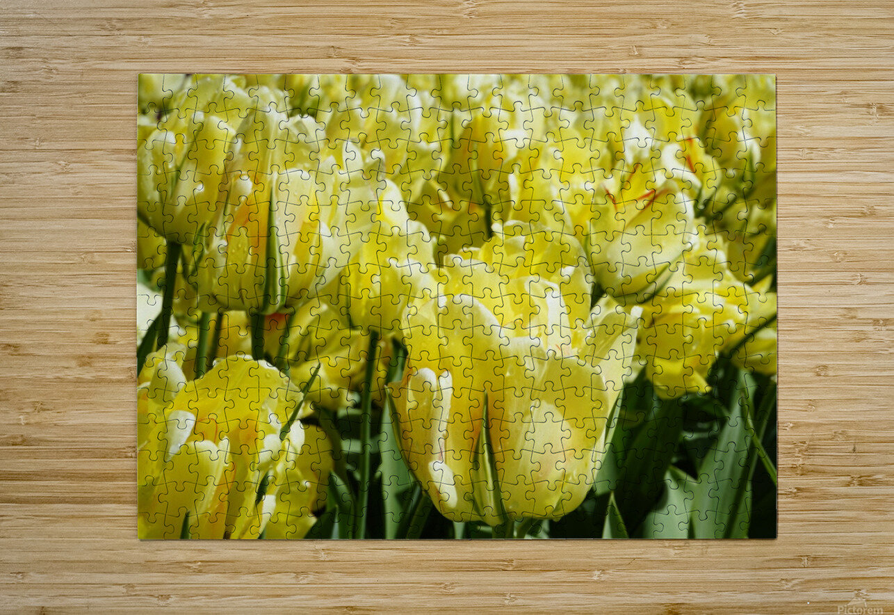 Tulips of the Netherlands 1 of 7  HD Metal print with Floating Frame on Back