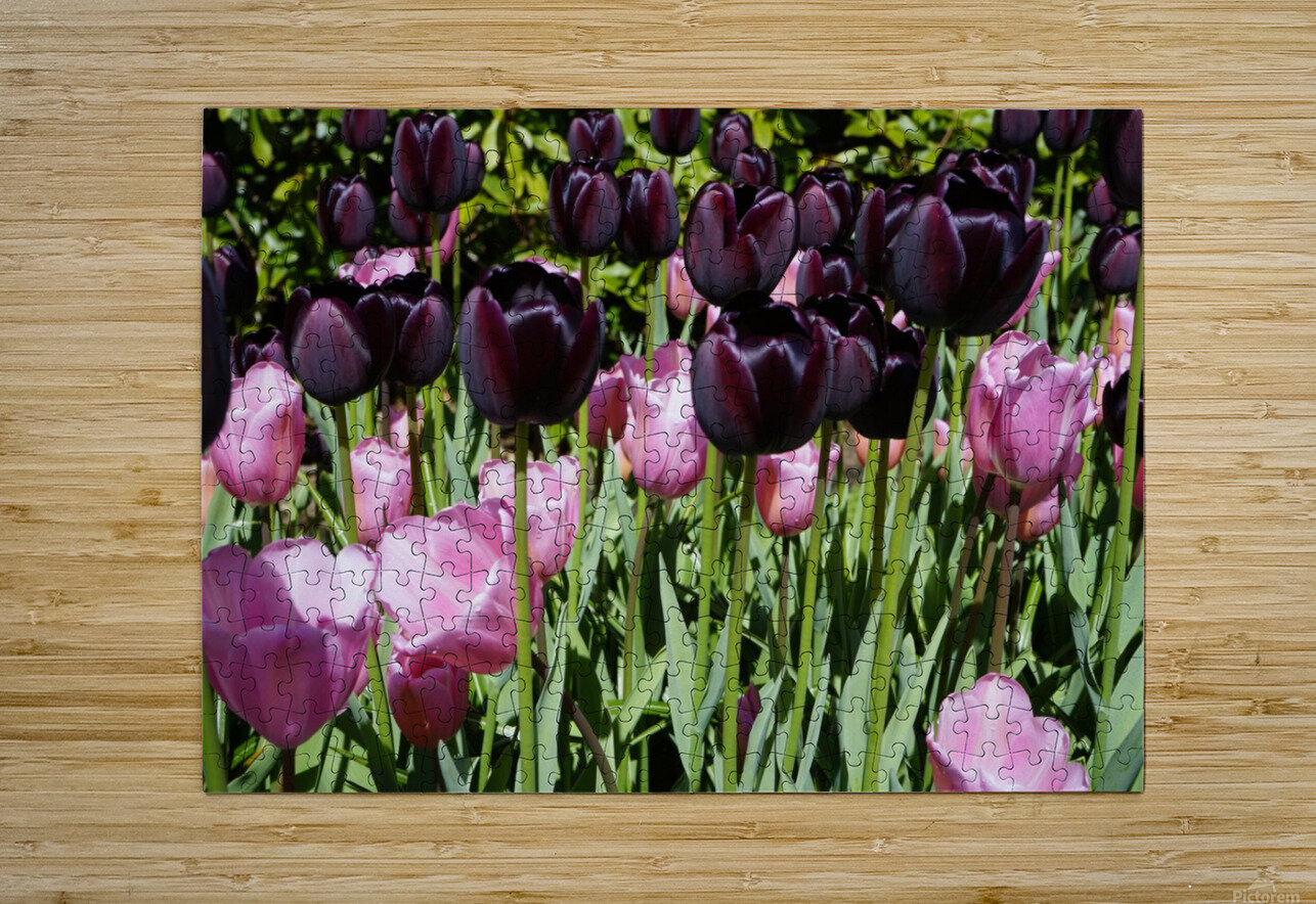 Spring Blooms of Holland 5 of 8  HD Metal print with Floating Frame on Back