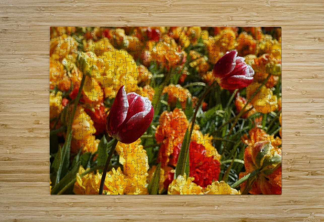 Spring Blooms of Holland 7 of 8  HD Metal print with Floating Frame on Back