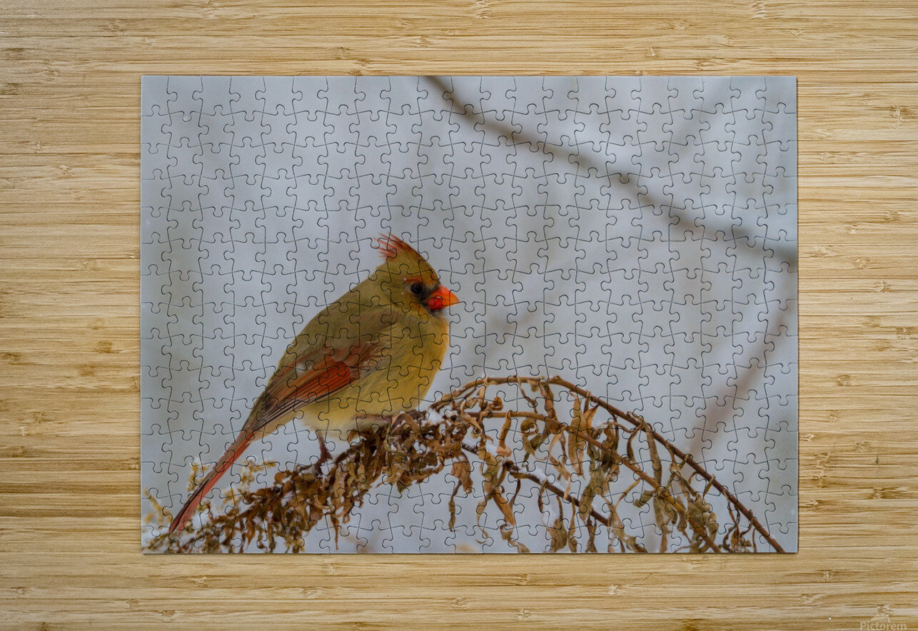 Cardinal ap 1726  HD Metal print with Floating Frame on Back