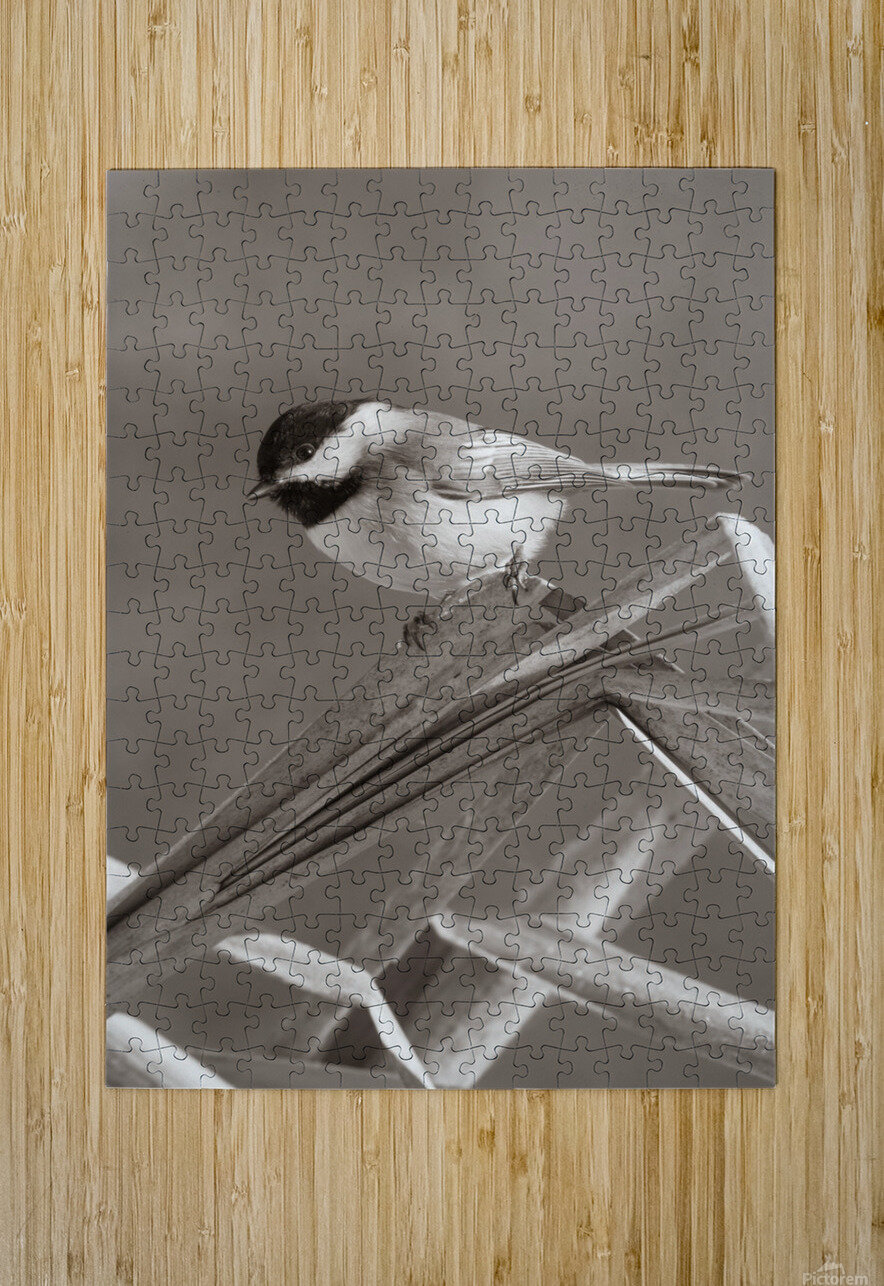 Black Capped Chickadee ap 1592 B&W  HD Metal print with Floating Frame on Back