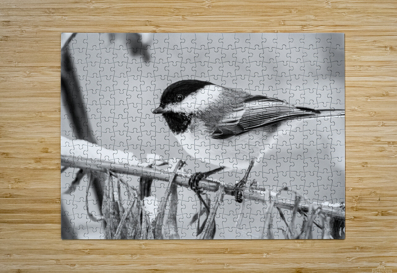 Blacked Capped Chickadee ap 1813 B&W  HD Metal print with Floating Frame on Back