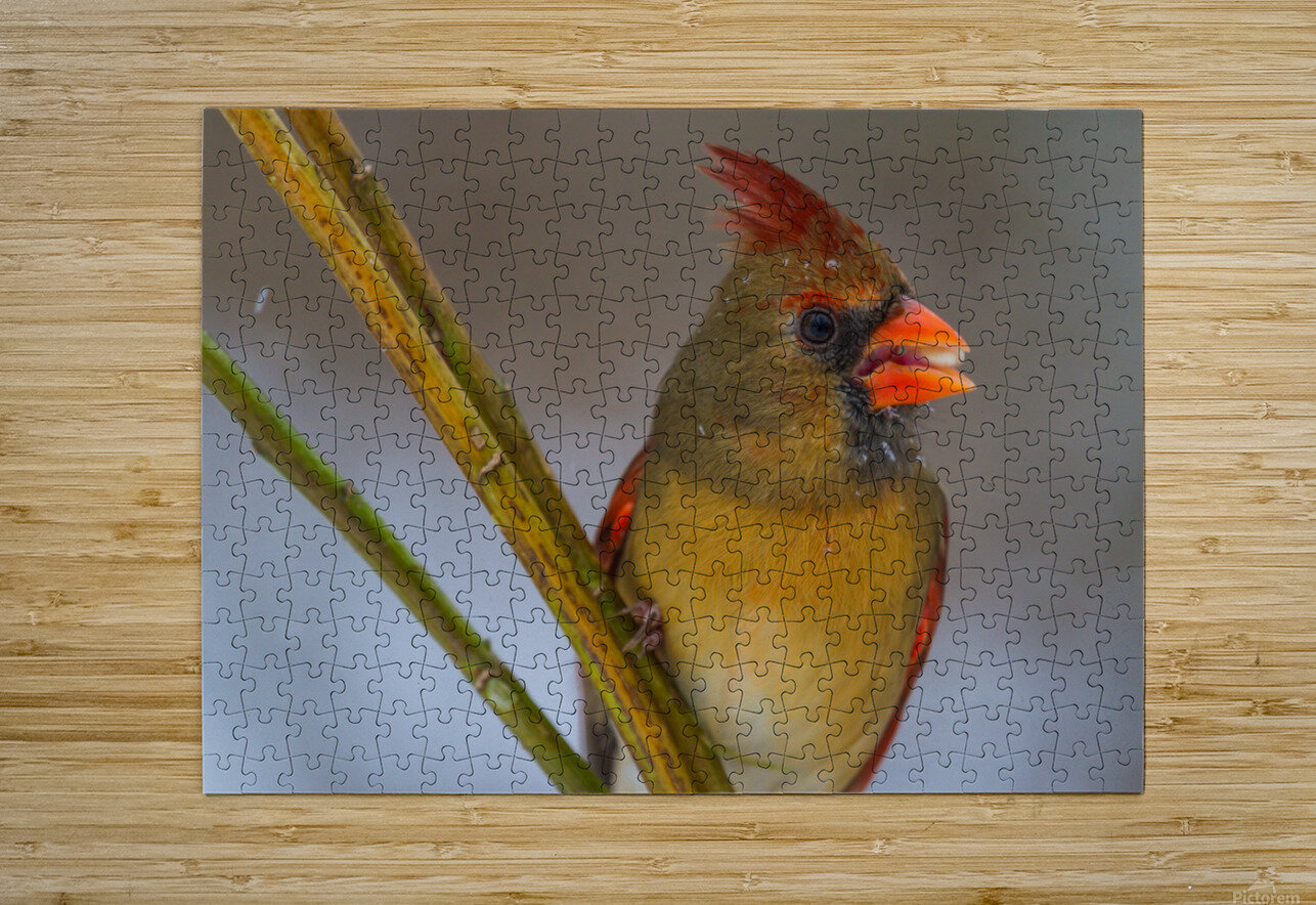 Cardinal ap 1822  HD Metal print with Floating Frame on Back