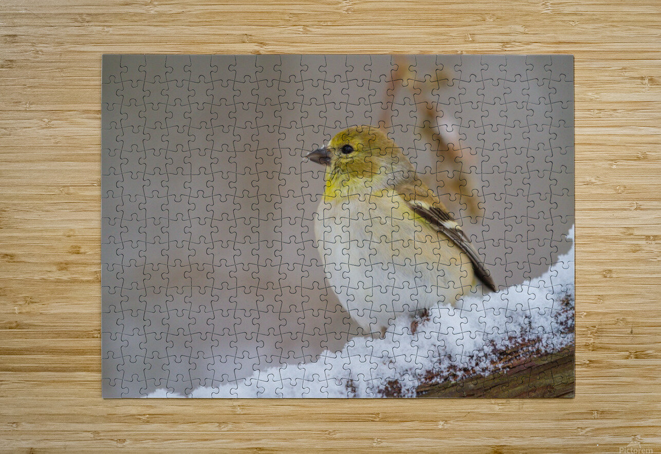 Goldfinch ap 1814  HD Metal print with Floating Frame on Back