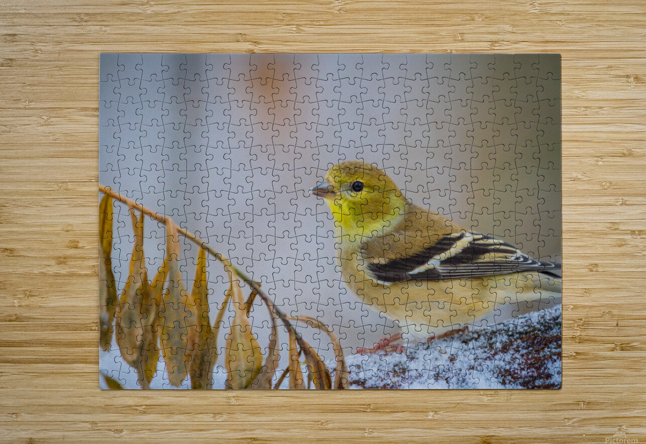Goldfinch ap 1816  HD Metal print with Floating Frame on Back