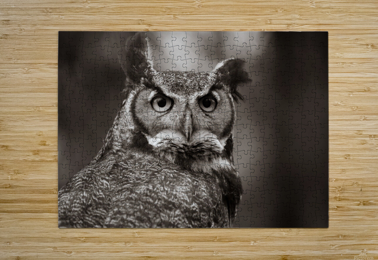 Great Horned Owl ap 2860 B&W  HD Metal print with Floating Frame on Back