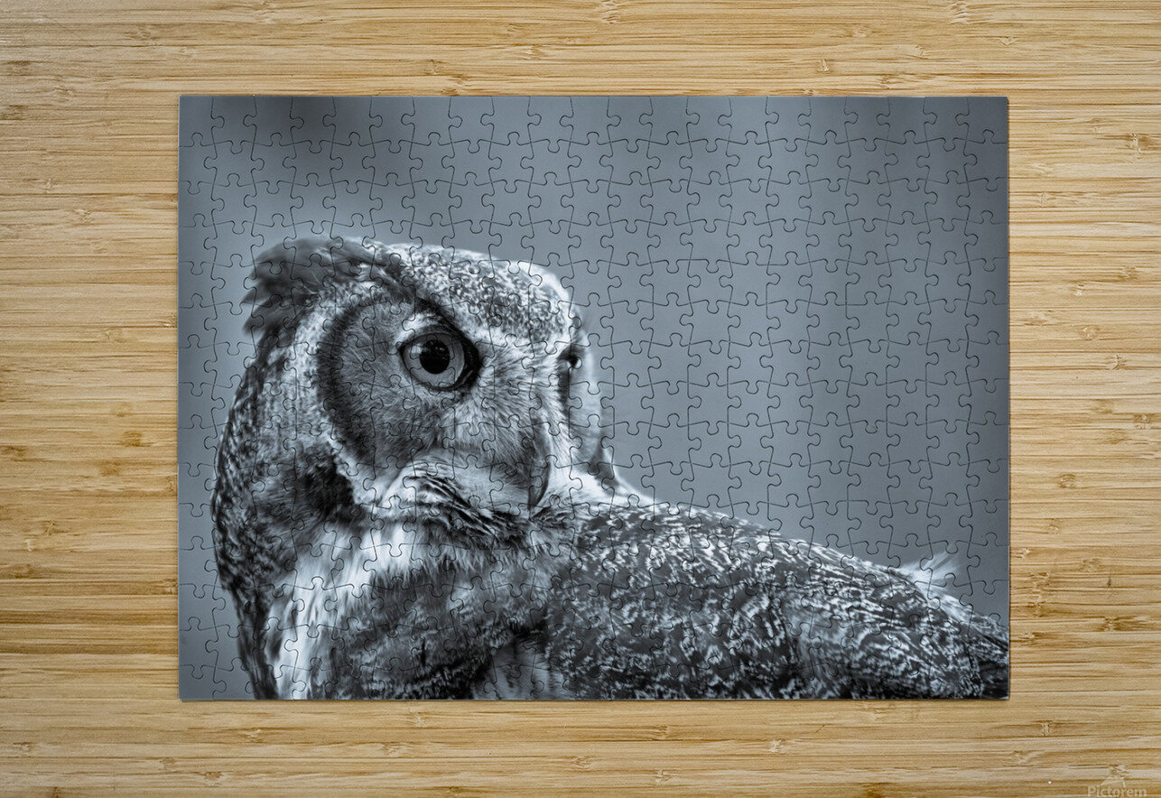 Great Horned Owl ap 2861 B&W  HD Metal print with Floating Frame on Back