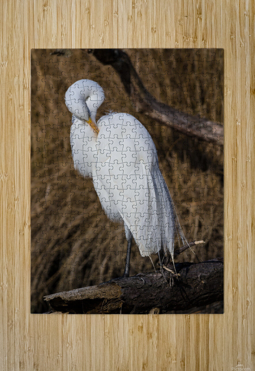Great White Egret ap 2767  HD Metal print with Floating Frame on Back