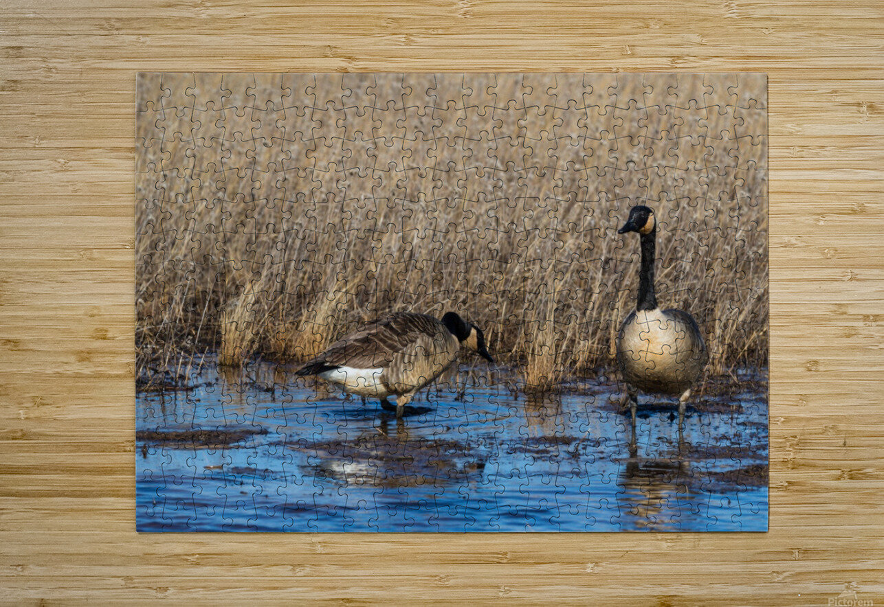 Canada Geese ap 2779  HD Metal print with Floating Frame on Back