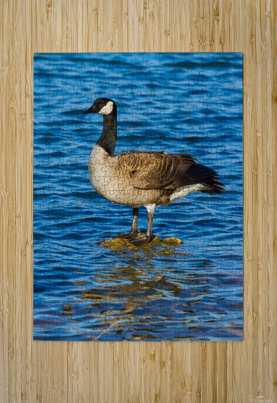 Canada Goose ap 1596  HD Metal print with Floating Frame on Back