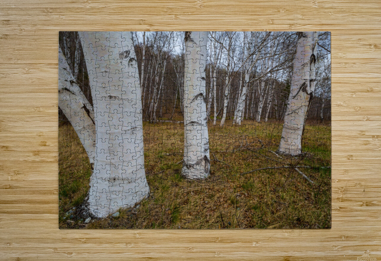 White Birch ap 2242  HD Metal print with Floating Frame on Back