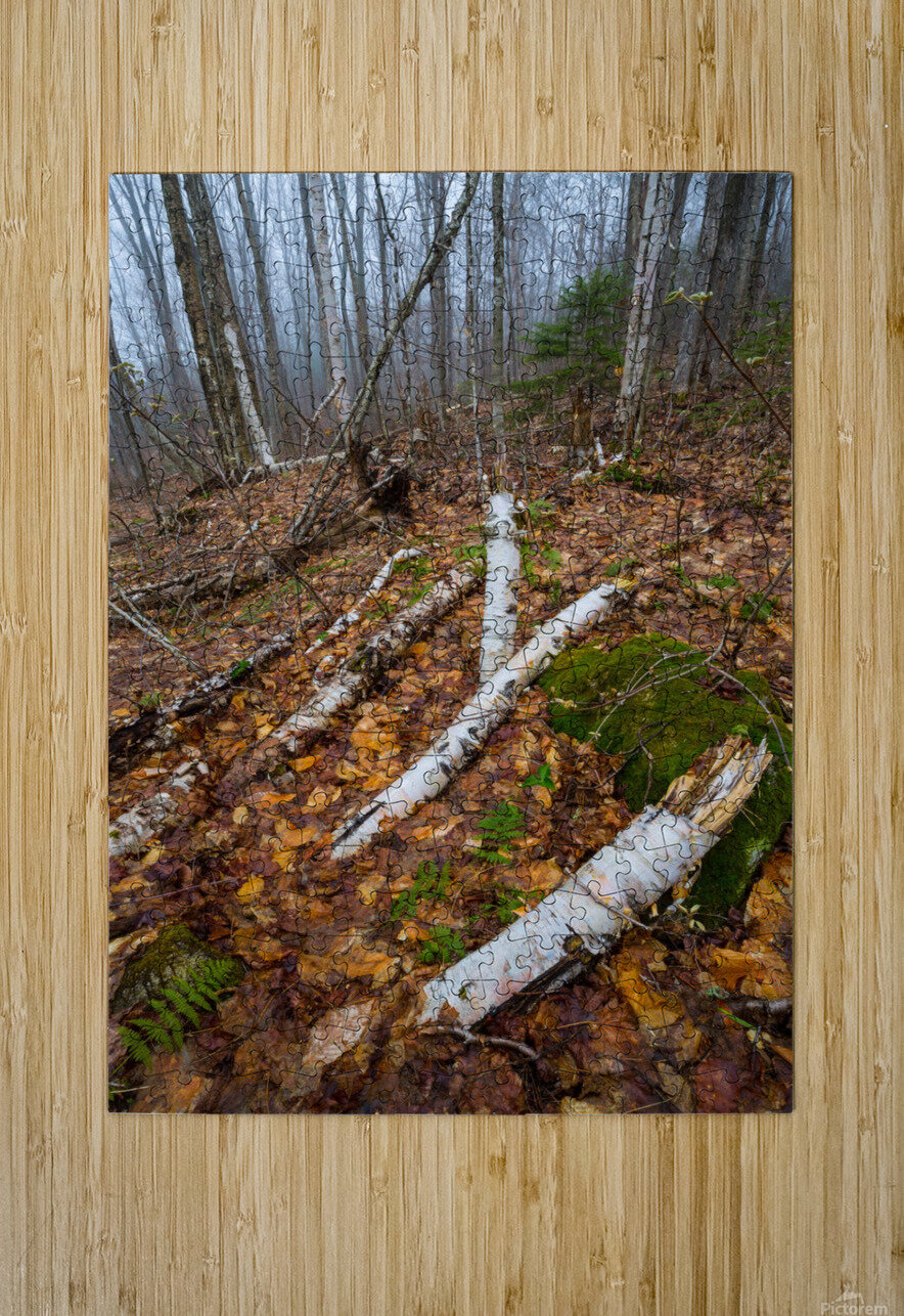 White Birch ap 2186  HD Metal print with Floating Frame on Back