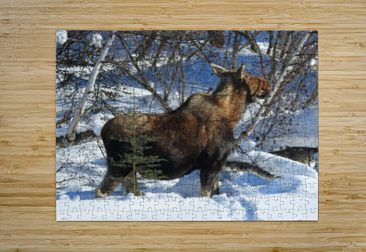 Hungry Moose  HD Metal print with Floating Frame on Back