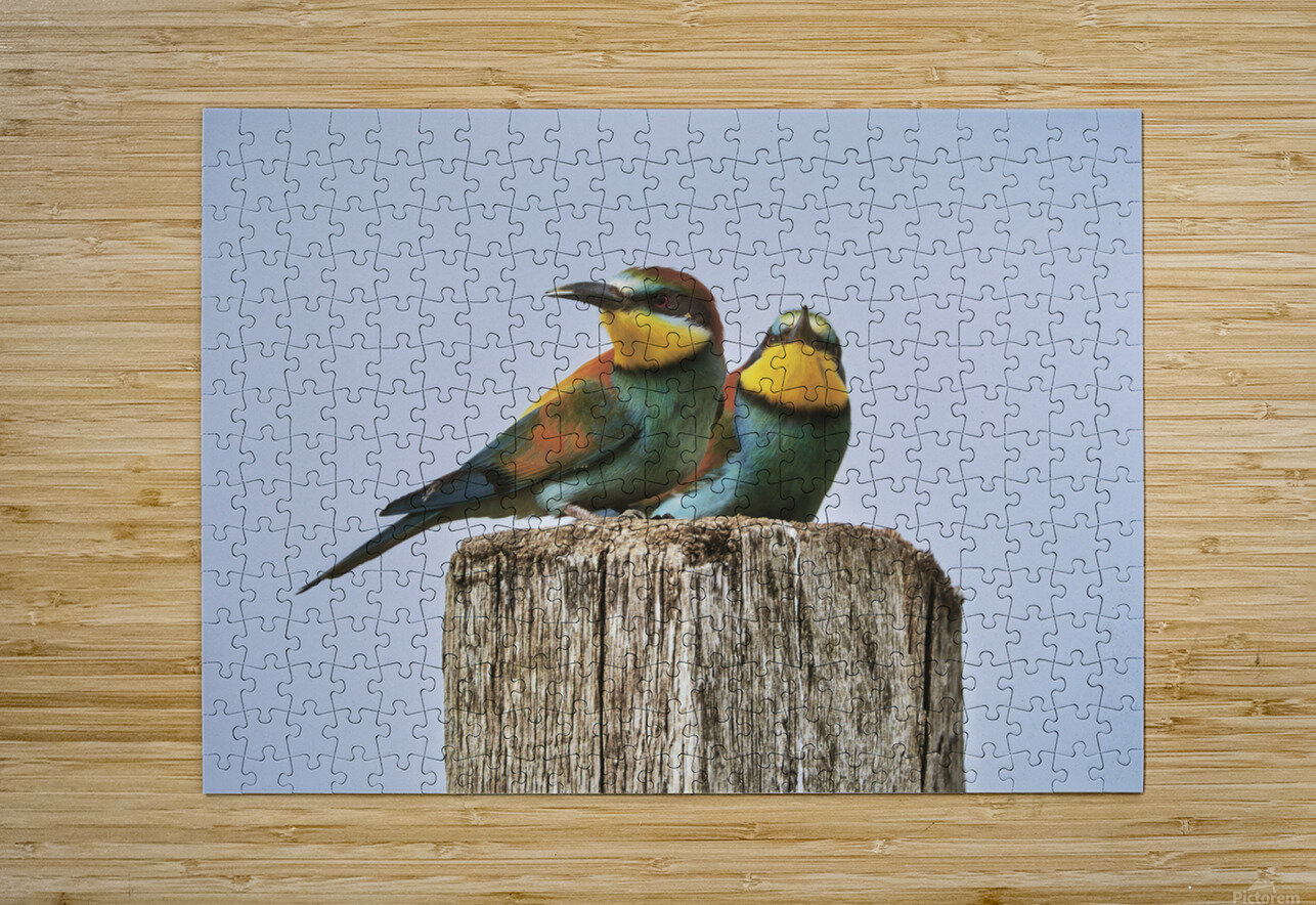 European Bee-Eaters  HD Metal print with Floating Frame on Back