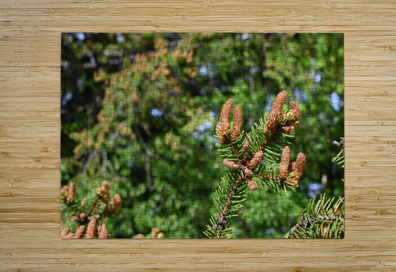 Spruce twig and background  HD Metal print with Floating Frame on Back